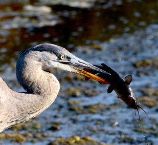 GBH at the refuge