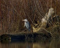 Great B;ue Heron at Fernhill