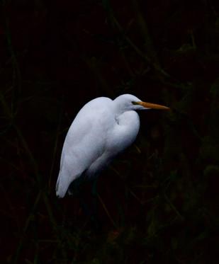An Egret roosting at sundown