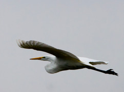 Great Heron at Fernhill