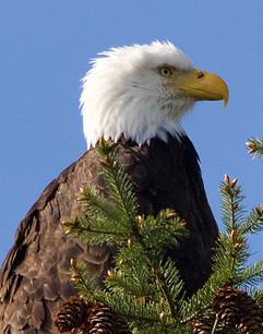 Bald Eagle Side-view