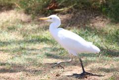 Cattle Egret in Hawaii