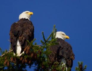 Bald Eagles at the refuge