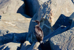 Double-creeasted cormorant