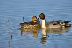 Two Pintail ducks