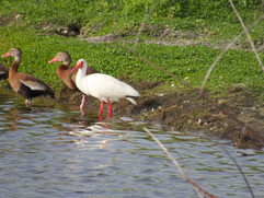 White Ibis and Laughing ducks