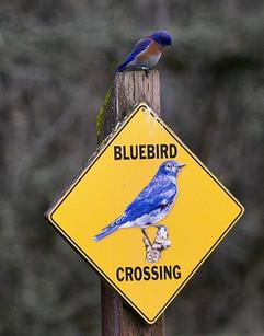 Western Bluebird sitting sign