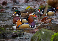 Manderin Duck with Wood Ducks