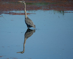 GBH at the TRNWR