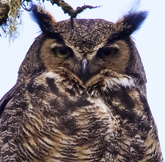 Great-Horned Owl looking at you.