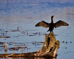 A Cormorant drying himself