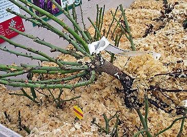 exposed bare-root3.jpg