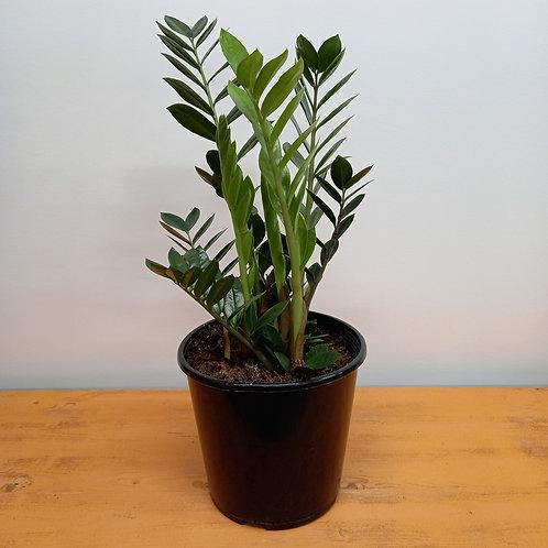 Zamioculcas Zamiifolia (ZZ) 14cm / 23cm
