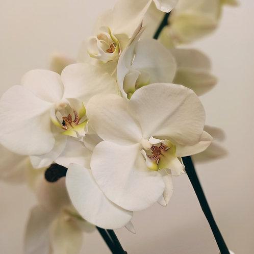 Phalaenopsis Orchid Double White 12cm