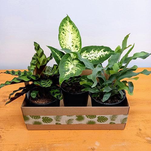 """Jungle Box  """"The Green Dream"""""""