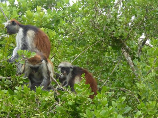 Parque Nacional de Jozani (UNESCO). Zanzíbar (Tanzania)