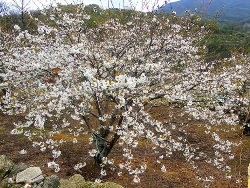 Floración de cerezos. Valle del Jerte. Extremadura (España)