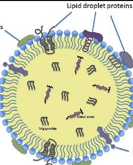 Basic-Morphology-of-Lipid-Droplets_edite