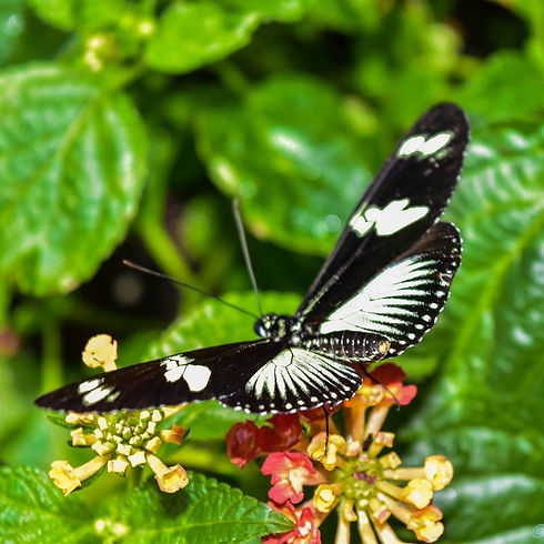 Black & White Butterfly on a flower_edit