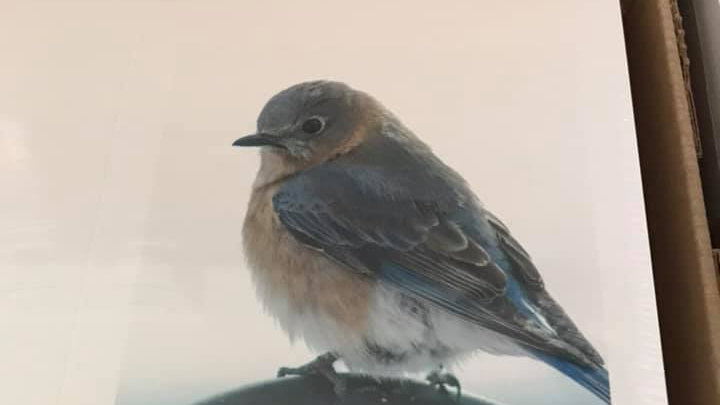 Eastern Bluebird Note Cards