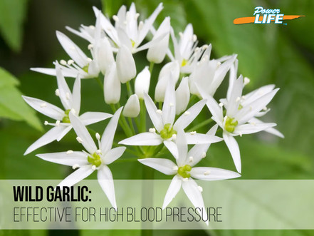 Cultivated garlic bulb vs Wild garlic: Is it really effective for high blood pressure?