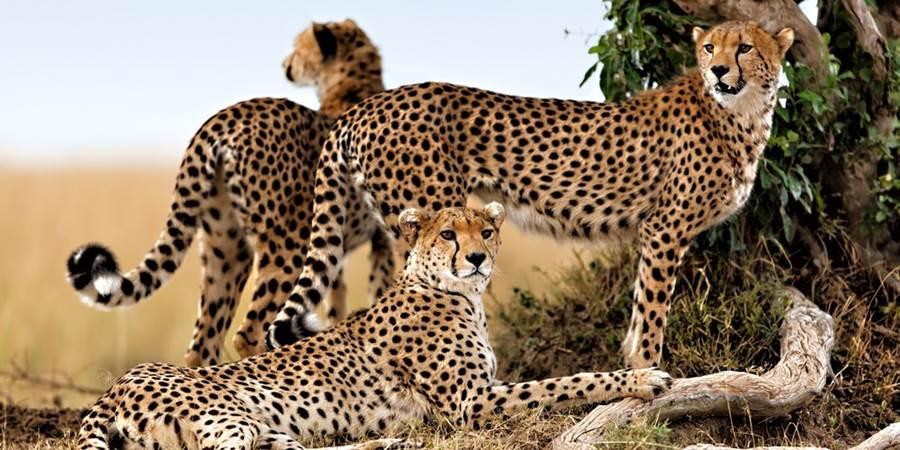 africa_Leopardsin-Kenya