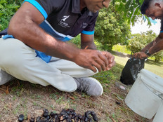 Rhino beetle infestation a growing threat to Pacific islands' economies