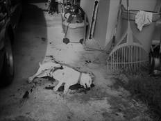 Dog killer on the loose in Yigo