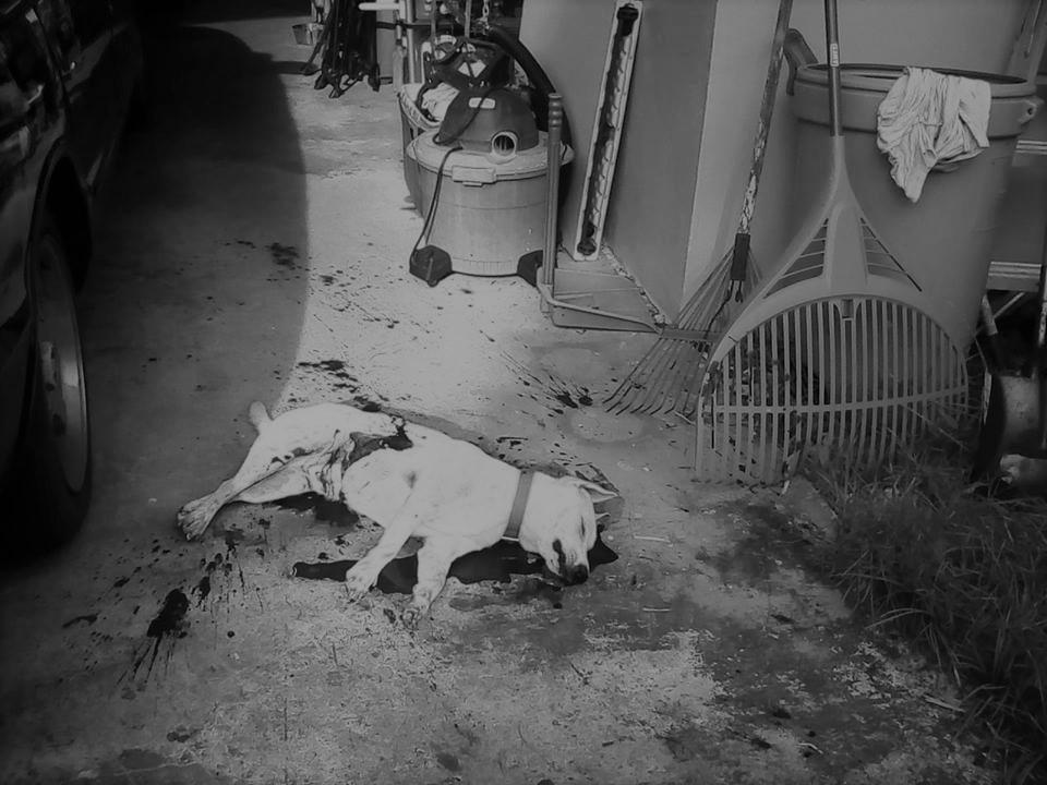 Dog Pugua killed in Yigo