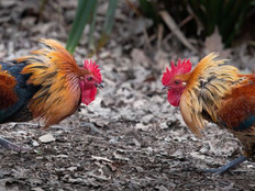 Animal welfare group says illegal cockfighting still exists on Guam
