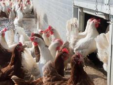 Avian flu outbreak in Australia puts Pacific islands on high alert