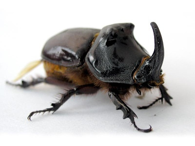 Third rhino beetle-infested site discovered on Rota