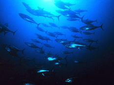 PNA promotes domestic value-adding to tuna fisher