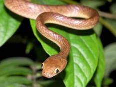 DoD, USDA team up to rid Guam of brown treesnakes
