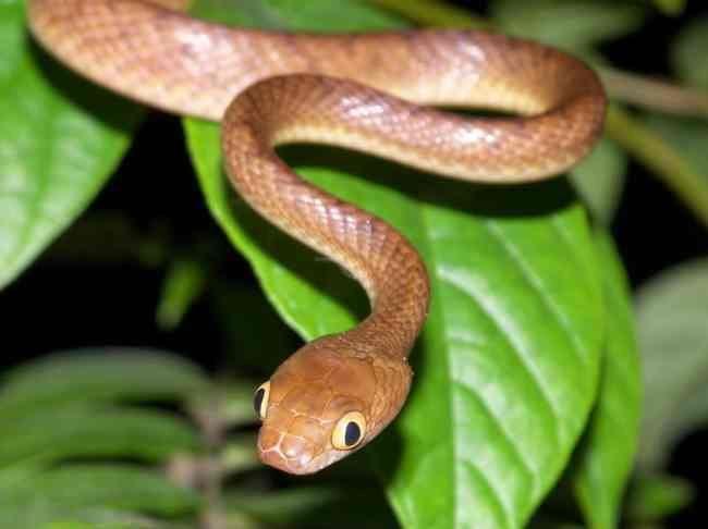 browntree snake