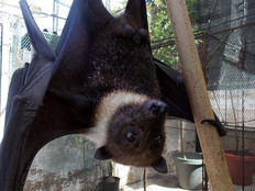 Fruit bats 'vitally important' to Guam's forests