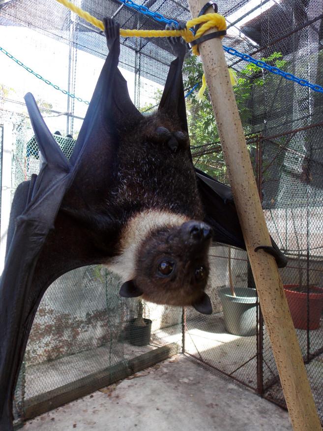 Marianas Bats