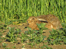 we have so many hares