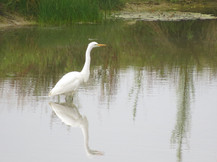 An unexpected visitor - a great Egret