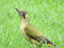 our resident woodpecker