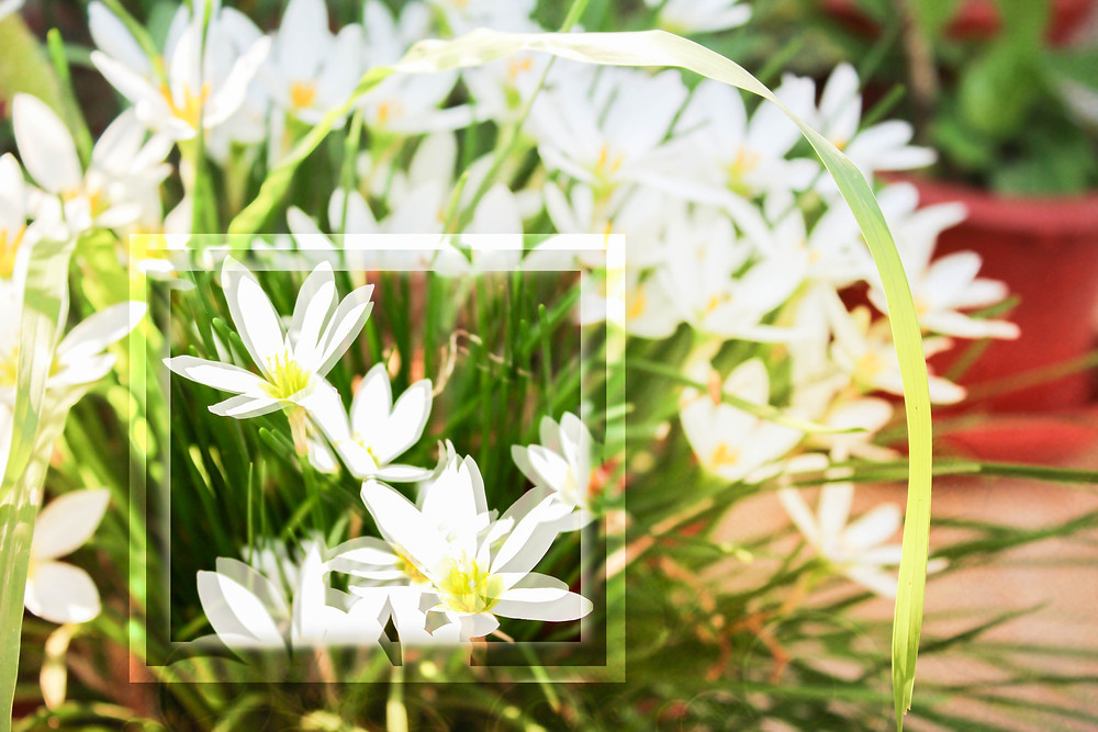 white flowers in morning sun, artistic editing
