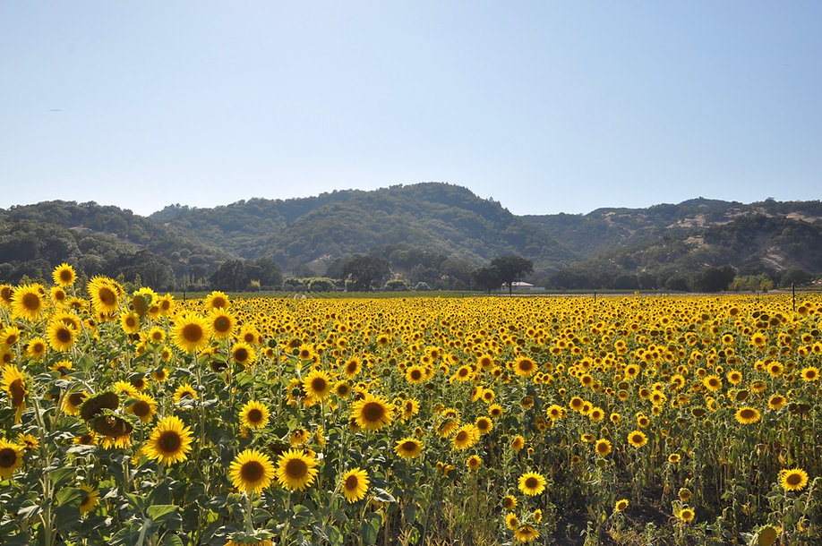 Sunflowers Pic.jpeg