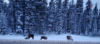 Winter Caribou