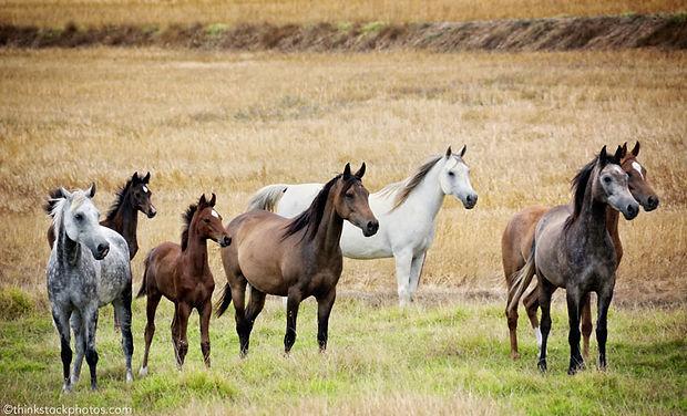 arabian-horses_800.jpg