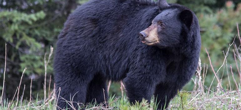 Foraging Bear