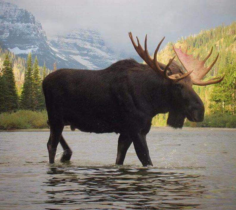 Grand Bull Moose