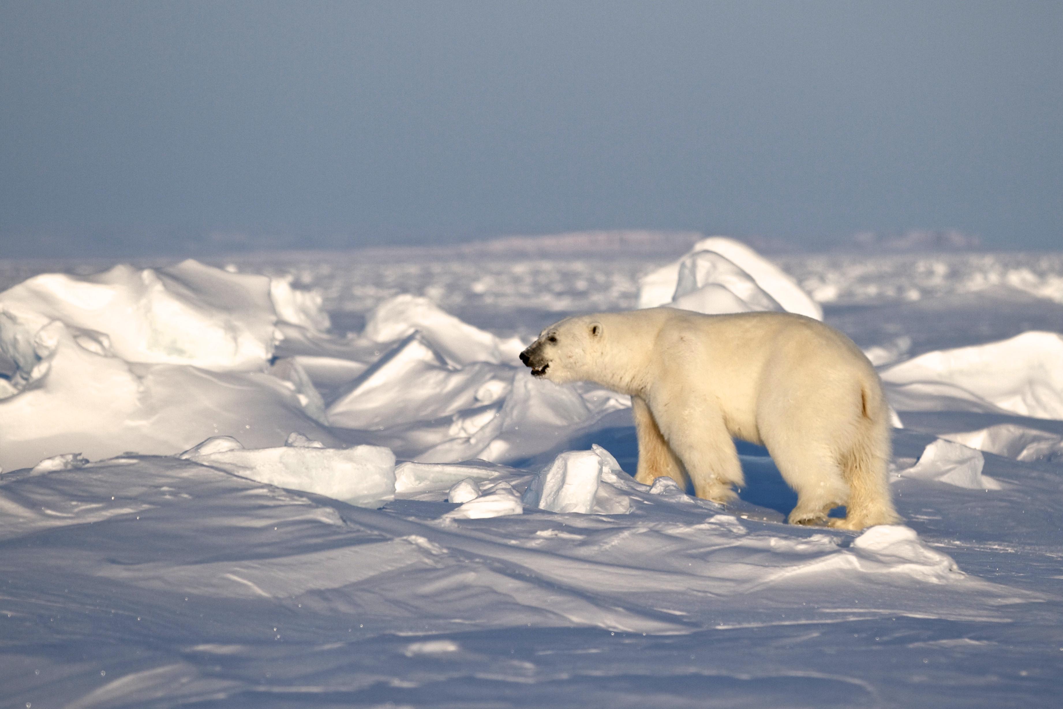 Polar Bear (live)