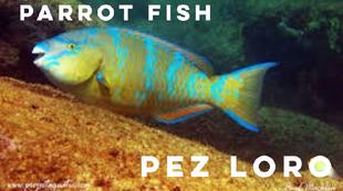 parrot fish2.png