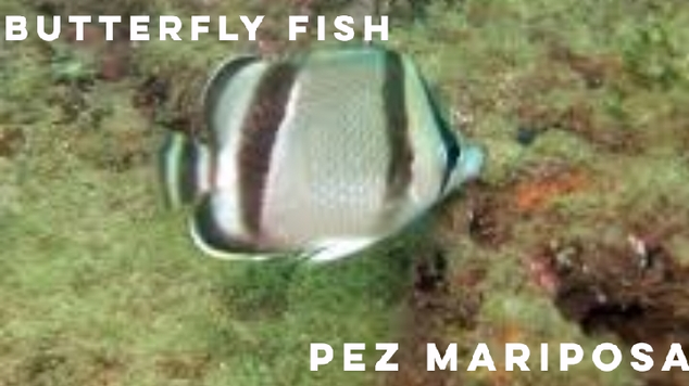 butterfly fish.png