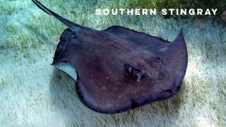 southern stingray.png